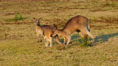 Eastern Grey Kangaroo , male after female for mating (penis out) but she rejects him, loaded pouch