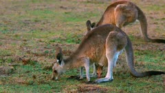 Eastern Grey Kangaroo, mother and joy grazing from the pouch, early night after sunset, light fillin