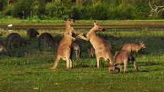 Eastern Grey Kangaroo boxing 2