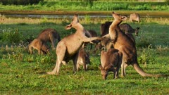 Eastern Grey Kangaroo boxing attempt by juveniles