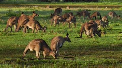 Eastern Grey Kangaroo large mob interacting, early morning 1
