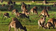 Eastern Grey Kangaroo large mob interacting, early morning 2