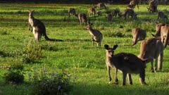 Eastern Grey Kangaroo large mob interacting, early morning, pan