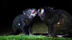 Tasmanian Devil at night 1,