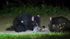 Tasmanian Devil at night 10, dominant and chaser feeding relatively calmly