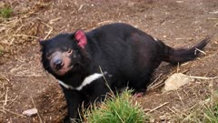 Tasmanian Devil, daylight 01, smells and flees, wide