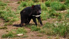 Tasmanian Devil, daylight 02, scratches and flees, wide