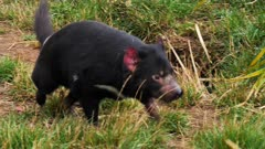 Tasmanian Devil, daylight 03, comes towards camera and goes sideways, wide