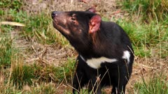 Tasmanian Devil, daylight 04, smells and look at the camera, close up