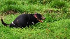 Tasmanian Devil, daylight 05, feeding on left overs and leaves, wide