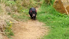 Tasmanian Devil, daylight 06 walks towards camera and disappears, wide.