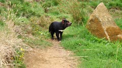 Tasmanian Devil, daylight 07, standing far away, wawns and retreats, wide