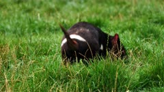 Tasmanian Devil, daylight 08, individual drags:scratches himself thru the grouto clean underparts, wide
