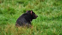 Tasmanian Devil, daylight 09, resting, wide
