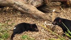Tasmanian Devil, daylight 10, resting, skirmaches