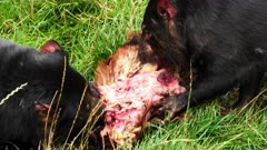 Tasmanian Devil, daylight feeding 02, 3 at the table, close