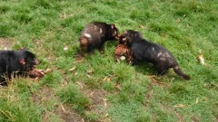 Tasmanian Devil, daylight feeding 08, 2 arguing at a piece of meat, a 3rd alone, wide