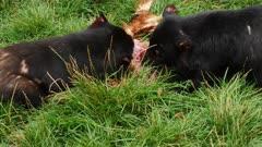 Tasmanian Devil, daylight feeding 11, skirmaches