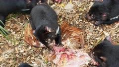 Tasmanian Devil, daylight feeding 12, feeding frenzy