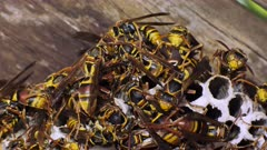 Paper Wasps on nest, after birth, displaying behavior 03