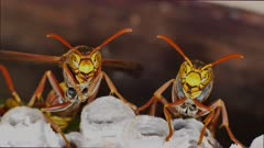 Paper Wasps on nest, ultra close up  displaying behavior 01