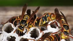 Paper Wasps on nest, ultra close up  displaying behavior 02
