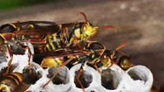 Paper Wasps on nest, ultra close up  displaying behavior 03