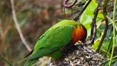 Rainbow Lorikeet couple feasting on sunflowers seeds in a garden, close, 02