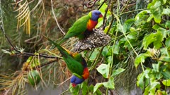 Rainbow Lorikeet couple feasting on sunflowers seeds in a garden, wide, 01