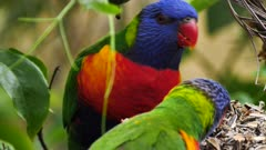 Rainbow Lorikeet feeding on seeds in a garden, close, 01