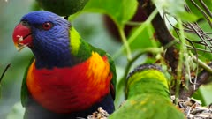 Rainbow Lorikeet feeding on seeds in a garden, close, 02
