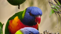 Rainbow Lorikeet feeding on seeds in a garden, close, 03