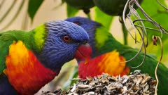 Rainbow Lorikeet feeding on seeds in a garden, close, 04