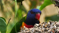 Rainbow Lorikeet feeding on seeds in a garden, close, 05