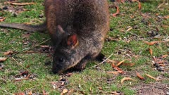 Tasmanian Pademelon feeding late afternoon 01