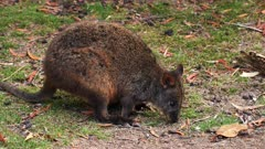 Tasmanian Pademelon feeding late afternoon 02