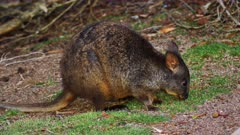 Tasmanian Pademelon feeding late afternoon 03