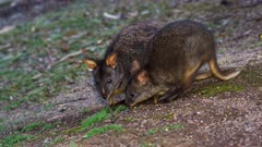Tasmanian Pademelon feeding late afternoon 04