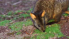 Tasmanian Pademelon feeding late afternoon 05