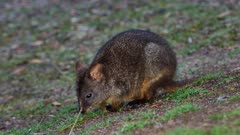Tasmanian Pademelon feeding late afternoon 06