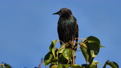 Common Starling perched 01