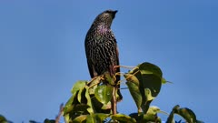 Common Starling perched 05