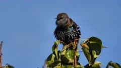 Common Starling perched 06