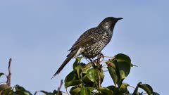 Common Starling perched 09