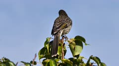 Common Starling perched 10