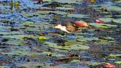 Comb-crested Jacana 01 feeding on swamp, wide