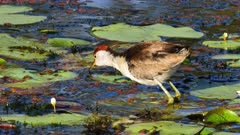 Comb-crested Jacana 01 feeding on swamp, close