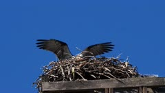 Eastern Osprey on nest 07, male arrives with a branch on its feet and fixes on nest, female sitting on eggs, 50P