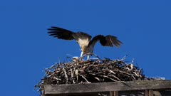 Eastern Osprey on nest 03, female arrives and preens, 50P