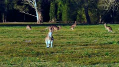 Eastern Kangaroo mob 01, individual hopping into the group, wide, late afternoon, 50p